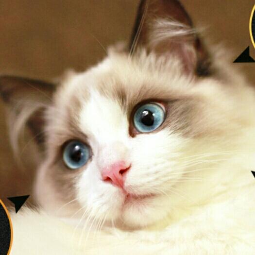 壁纸 动物 猫 猫咪 小猫 桌面 525_525